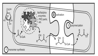Synthetic biology strategies for synthesizing polyhydroxyalkanoates from unrelated carbon sources | SynBioFromLeukipposInstitute | Scoop.it
