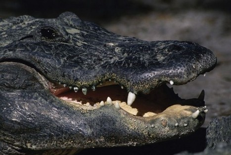 New Way To Make Biodiesel Using Fat From Alligators And Other Animals | Sustainable Technologies | Scoop.it