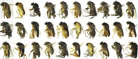 Voici comment j'ai découvert 30 espèces nouvelles de mouches à Los Angeles [en anglais] | EntomoNews | Scoop.it
