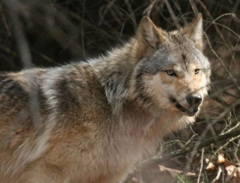 Minnesota's wolves needed for ecological balance | IDLE NO MORE WISCONSIN | Scoop.it
