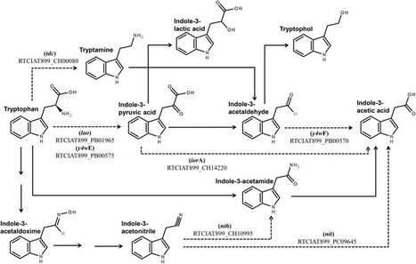 Indole-3-acetic acid production via the indole-3-pyruvate pathway by plant growth promoter Rhizobium tropici CIAT 899 is strongly inhibited by ammonium | Interaction, and more... | Scoop.it