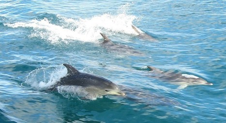 How To Prevent Next Year's Dolphin Hunt In Taiji | Resrach | Scoop.it