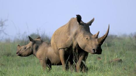 Afrique du Sud : la justice autorise le commerce intérieur de la corne de rhinocéros | Chasse, Braconnage et Droits des Animaux | Scoop.it