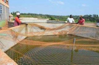 Don overcomes poll violence effects to export fingerlings | Aquaculture Directory | Scoop.it