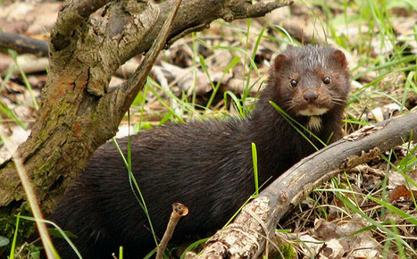 Imported invasive beavers and minks threaten biodiversity in southern Chile | GarryRogers NatCon News | Scoop.it