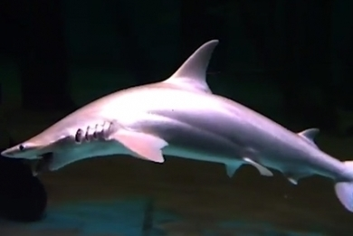 Learn about sharks in bite-sized pieces in new MOOC   Cornell Chronicle   Learning with MOOCs   Scoop.it
