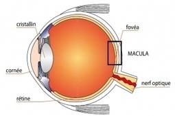 """DMLA: Un nutraceutique à base de resvératrol parvient à améliorer la vision ... - santé log   Vin et """"Médoc""""   Scoop.it"""