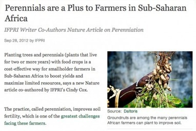 When did groundnuts become perennials?   plant research   Scoop.it