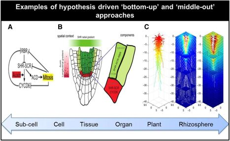 Root Systems Biology: Integrative Modeling across Scales, from Gene Regulatory Networks to the Rhizosphere | Plant Microbe Interactions | Scoop.it
