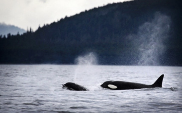 There's Good News for Puget Sound's Orcas, But They Still Need Our Help.   #OrcaAvengers   Scoop.it