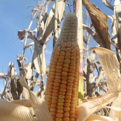 Brazil's 2016 Corn Crop Size Continues To Fall | Successful Farming | Grain du Coteau : News ( corn maize ethanol DDG soybean soymeal wheat livestock beef pigs canadian dollar) | Scoop.it