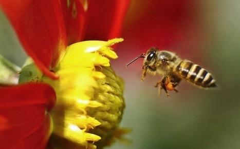 Honey bee treatment 'applied in wrong way' | BIOSCIENCE NEWS | Scoop.it