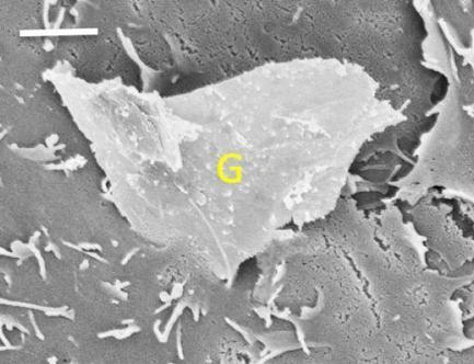 Jagged graphene edges can slice and dice cell membranes | Brown University News and Events | Nanotechnology & Health | Scoop.it