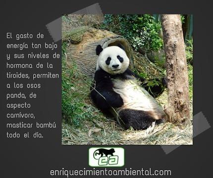 En 30 segundos...<br/>&iquest;por que los osos panda, de aspecto carn&iacute;voro comen solo&hellip; | Enriquecimiento ambiental en animales en cautividad y mascotas. | Scoop.it