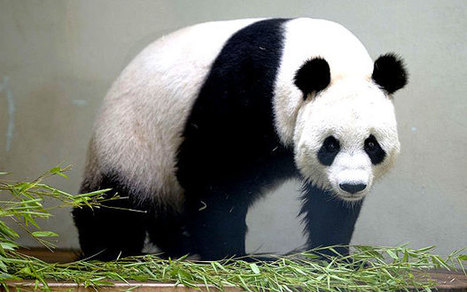Panda faeces 'could be answer to energy problems' - Telegraph | Global Growth Relations | Scoop.it