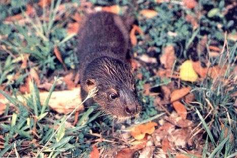 ENDANGERED SPECIES SPOTLIGHT: Hairy Nosed Otter | Aquaculture Directory | Scoop.it