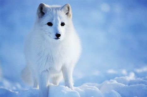 These 7 Arctic Animals Are Most at Risk From Climate Change | GarryRogers Biosphere News | Scoop.it