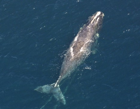 A 60-Ton Wake Up Call, North Atlantic Right Whales - The Daily Catch | Oceans and Wildlife | Scoop.it