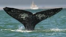 La Commission baleinière internationale interdit la chasse à la baleine pour le Groenland | écolo | Scoop.it