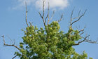 Scientists crowdsource to decode genetic code of ash dieback fungus | 100 Acre Wood | Scoop.it