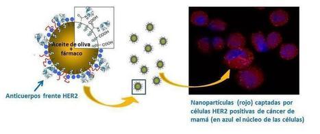 Obtienen nanocápsulas con actividad antitumoral en líneas celulares de cáncer de mama | Immunology for University Students | Scoop.it
