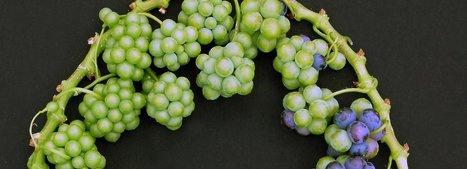 La microvigne, une vigne modèle pour élaborer les vins du futur | Winemak-in | Scoop.it