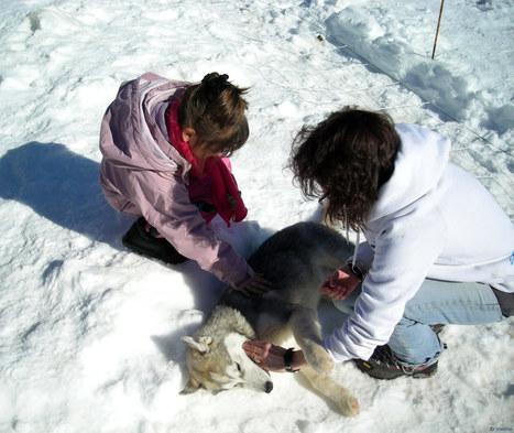 Baptême en traineau à chiens | L'info tourisme en Aveyron | Scoop.it