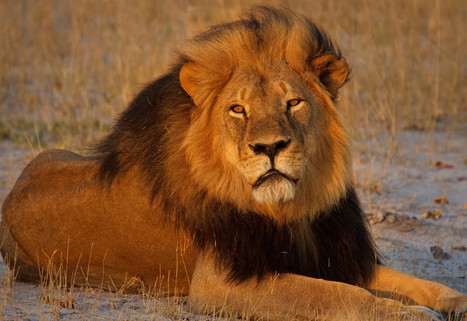 Cecil Killing Offers Prospect of Sweeping Reforms | Trophy Hunting: It's Impact on Wildlife and People | Scoop.it