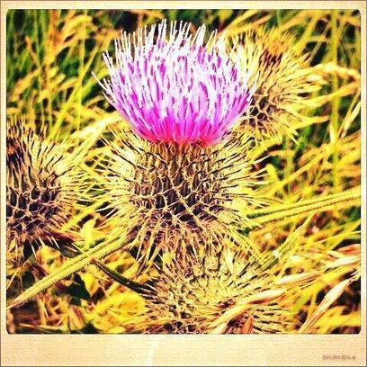 Twitter / john_mccoubrey: Thistle #wildlife ... | My Funny Africa.. Bushwhacker anecdotes | Scoop.it