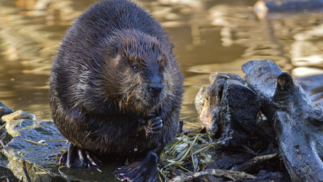 Why The Nature Conservancy is Restoring Streams by Acting like a Beaver | Lorraine's Environmental Change &  Management | Scoop.it