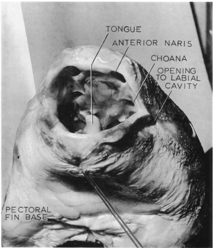 Beaucoup de gènes et un peu de gêne pour un fossile vivant : le retour du coelacanthe | C@fé des Sciences | Scoop.it