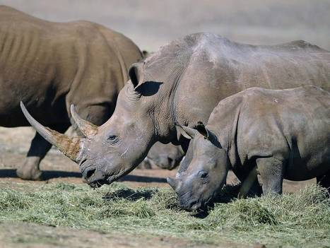 British zoos put on alert over rising threat of rhino rustlers   What's Happening to Africa's Rhino?   Scoop.it