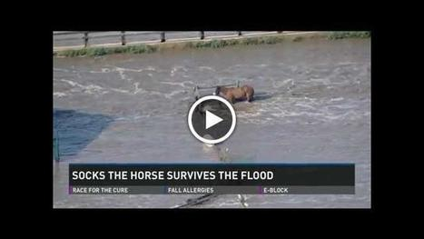 Socks the horse patiently waited out flood on Weld County farm   Horses   Scoop.it