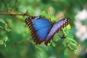 Questions about butterfly wing color lead to interdisciplinary BIOMIMICRY project | Rainforest EXPLORER:  News & Notes | Scoop.it