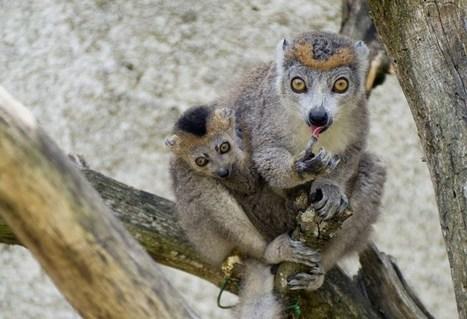 L'exceptionnelle naissance de quatre lémurs couronnés - 1jour1actu - L'actu pour tous les enfants !   News in the French class   Scoop.it