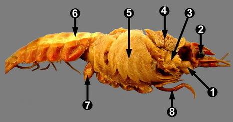 Crayfish Internal Anatomy 1 | Teaching Aquaculture | Scoop.it