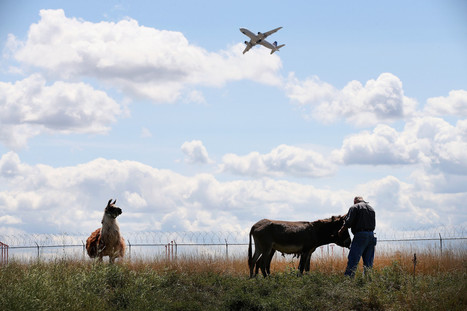 First Airport Goats, Now Llamas | Radio Show Contents | Scoop.it