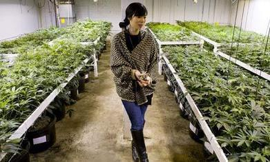 Colorado marijuana growers hoping for a Rocky Mountain high | Alcohol & other drug issues in the media | Scoop.it