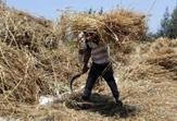 Egypt buys 99,646 tonnes of local wheat since start of season - Reuters | Agriculture et Alimentation méditerranéenne durable | Scoop.it