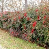 Just Try To Kill Nandina! | Natural Soil Nutrients | Scoop.it