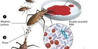 Gut Bacteria for Insect RNAi | DNA & RNA Research | Scoop.it