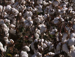 Genetically modified cotton is changing the Australian cotton industry | Agricultural Research | Scoop.it