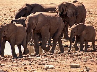 Poachers #poison watering holes with #cyanide, killing 41 African #elephants | Messenger for mother Earth | Scoop.it
