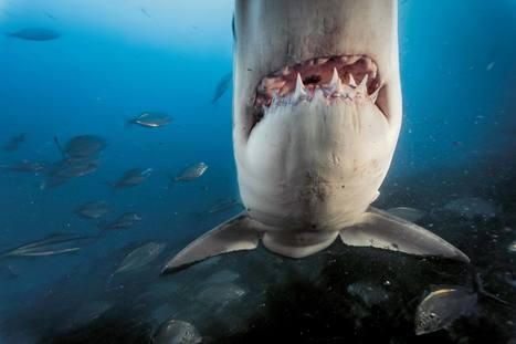 Les secrets du grand requin blanc - National Geographic | Zones humides - Ramsar - Océans | Scoop.it