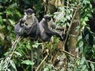 """Pictures: """"Extinct"""" Monkeys With Sideburns Rediscovered in Borneo   No Such Thing As The News   Scoop.it"""