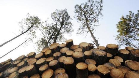 «Le nématode du pin menacera tôt ou tard la forêt des Landes»   La parole de l'arbre   Scoop.it