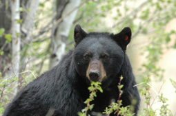 Washington Bills Undermine Advancements for Wildlife | GarryRogers Biosphere News | Scoop.it