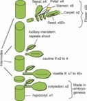 The evolution of reproductive structures in seed plants: a re-examination based on insights from developmental genetics - Mathews - 2012 - New Phytologist - Wiley Online Library | plant cell genetics | Scoop.it