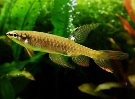 Fish That Lay Eggs Out of the Water: Freshwater Species of the Week | All about water, the oceans, environmental issues | Scoop.it