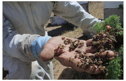 Des abeilles et des hommes - Le blog de Danièle Boone | Actualités écologie | Scoop.it